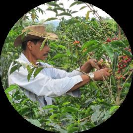 Tenemos sembradas en<i>diferentes alturas</i>, más de<b>10 variedades de café</b>, de las cuales recolectamos manualmente únicamente las cerezas maduras